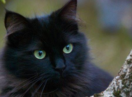 Black cat day: il giorno dei gatti neri